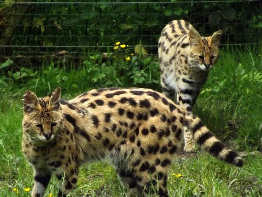 Servals, Jurques - Tous droits réservés