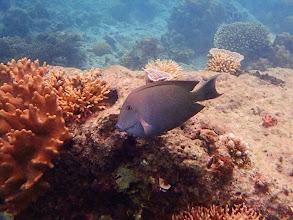 Photo: Ctenochaetus striatus (Striped Bristletooth Tang), Miniloc Island Resort reef, Palawan, Philippines.