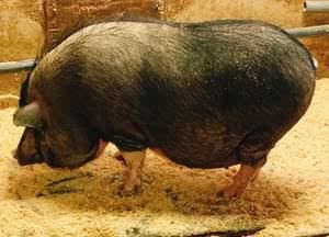 服部牧場の豚