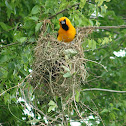 Altamira Oriole Nest-building
