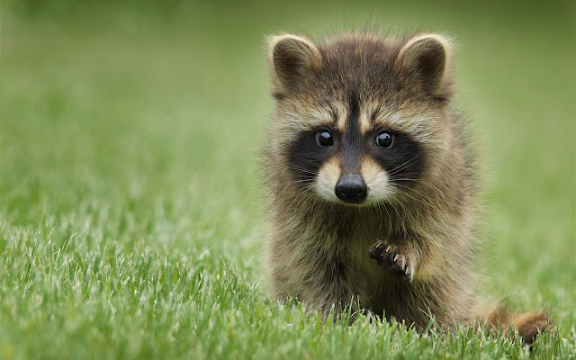 Raccoon - New Tab in HD