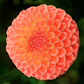 Dahlia 8991QA by Raphael RaCcoon - Flowers Single Flower