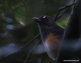 Photo: Rufous-tailed Shama, Danum Valley