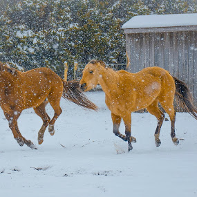 by Patti Cooper - Animals Horses ( playing · chestnut · horses · snow · horse · appaloosa · buckskin · quarter horse delete running · snowing ·,  )