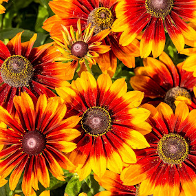 Red and Yellow by Andrew Moore - Flowers Flower Gardens (  )