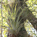 Giant Airplant