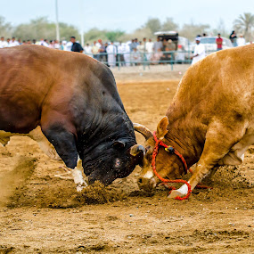 Bulls Fighiting by AbdulKader AlAni - Animals Other Mammals ( fujairah, fight, uae, traditional, vs, buuls )