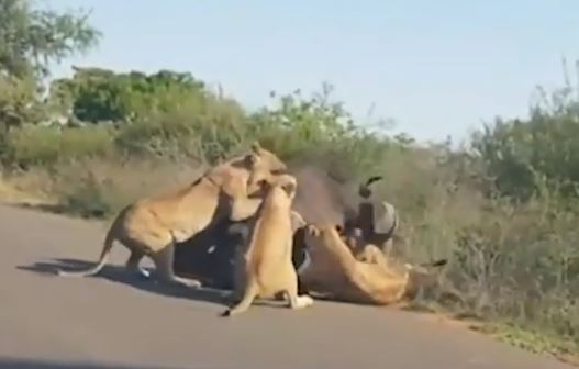 WATCH | Five lions take down buffalo in middle of the road