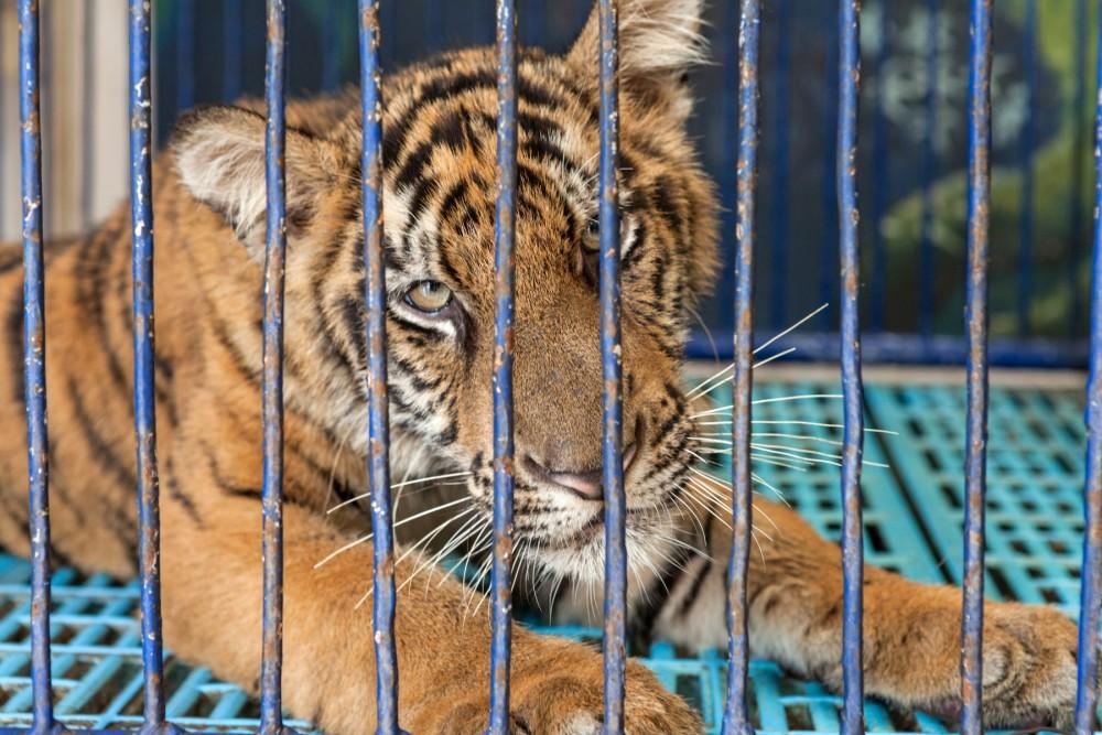 An orange tiger cub in a cage