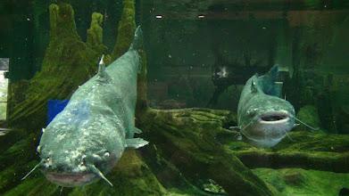Photo: Dikkat pisi balığı.