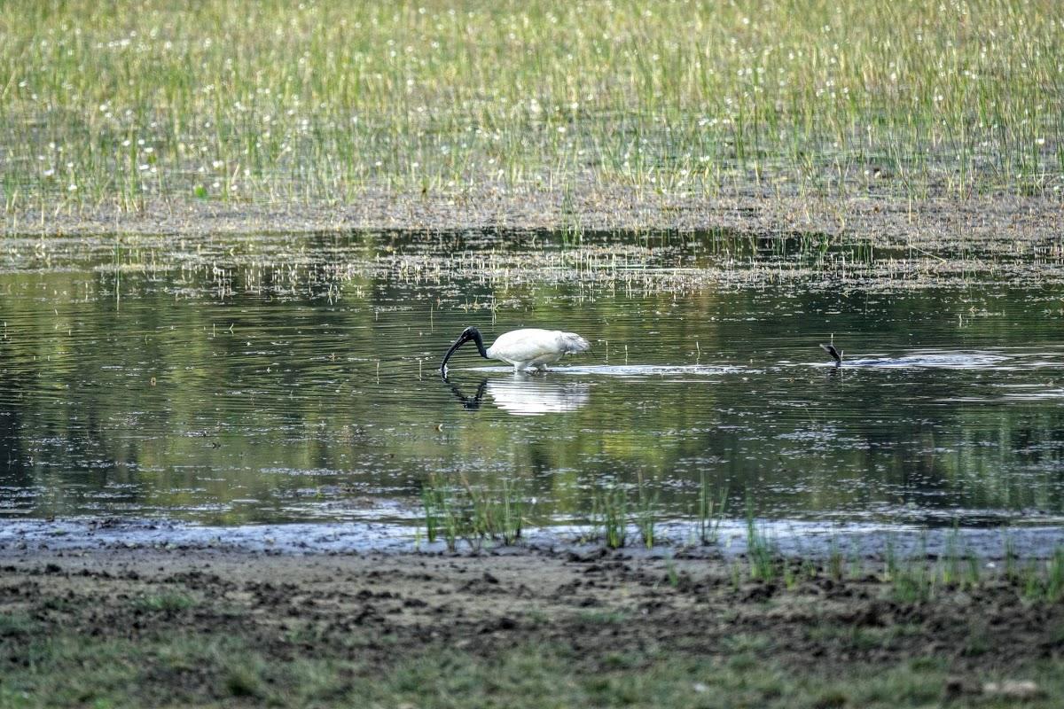 Sri. Lanka Wilpattu National Park . Ibis