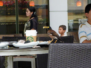Photo: A familiar face; I saw Salunki dining at a Starbucks near Merlion Park. One of my friends told me they are considered fortune birds in India. 22nd July updated (日本語はこちら) -http://jp.asksiddhi.in/daily_detail.php?id=610