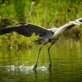 Final Approach by Scott Turnmeyer - Animals Birds ( water, landing, blue, pond, heron )
