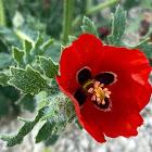 Amapola loca / Red horned poppy