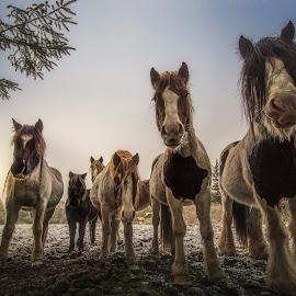 The Rockstars by Ole Steffensen - Animals Horses ( lowlight, winter, snow, horse, kollerup, denmark,  )