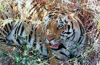 Photo: My picture of a tigress taken from elephant back at Kanha