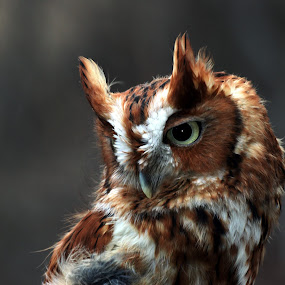 Screech Owl by Bruce Arnold - Animals Birds (  )