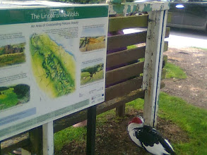 Photo: This big Muscovy duck is completely at home amongst the shoppers in the Tesco car park.