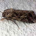 Cotton Leafworm Moth