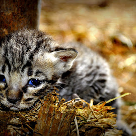 a thing of beauty is a  joy forever by Parvesh Rana - Animals - Cats Kittens ( innocent, blue eyes )