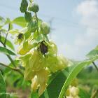 Euphoria Beetle