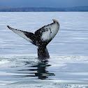 Yubarta (Humpback whale)
