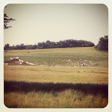 Photo: Sheep to the sheepfold #intercer #sheep #rural #romania #shepherd #agriculture #country - via Instagram, http://instagr.am/p/MAXqxBJfoJ/