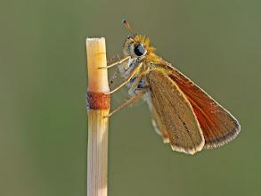 Photo: Hespérie du dactyle, Thymelicus linolea,  Essex Skipper  http://lepidoptera-butterflies.blogspot.com/