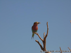 Photo: Bluecheeked Bee-eater