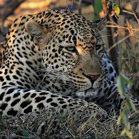 by Blaz Crepinsek - Animals Lions, Tigers & Big Cats (  )