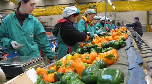 Lo que ocurre en el invernadero: el pimiento se come al tomate