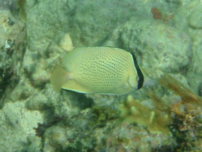 Photo: Chaetodon citrinellus (Speckled Butterflyfish), Siquijor Island, Philippines