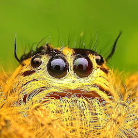 Spider Jumping by Ian Bismarkia - Animals Insects & Spiders