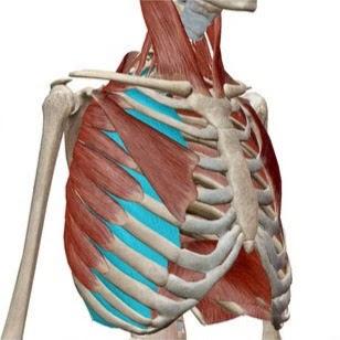 肋間筋の画像
