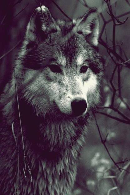 Wolf Wallpapers HD Android Apps on Google Play