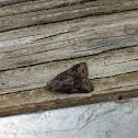 Tufted Apple Bud Moth