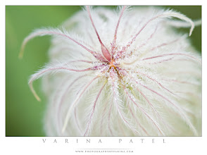 Photo: Anemone Flower Seed Head - Sunshine Meadows - Banff National Park, Canada