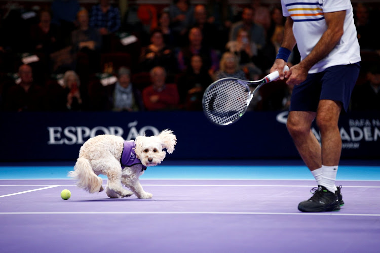 A dog acts as a ball boy for a game at the Royal Albert Hall in London.