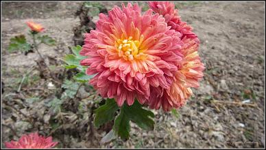 Photo: Crizanteme, din Turda, Calea Victoriei, B15 - 2018.11.17