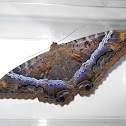 Masho (black witch moth)