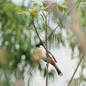 Pycnonotus aurigaster 白喉紅臀鵯