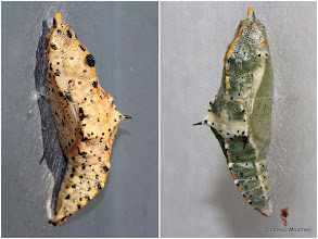 Photo: Chrysalises of Large White (Pieris brassicae) Butterfly Having recently shared the caterpillar of this species here: http://goo.gl/CgWRh0 I thought I'd share these two chrysalises which I found.  What's remarkable about this common species is not that I found the chrysalises, but where I found them. The yellowy one on the left is on the metal sliding door of our metal barn/hangar, and the day I took this shot the metal was so hot I couldn't touch it! It will be interesting to see if the butterfly actually ecloses because I would have thought its insides would have fried.  The other one I discovered when I was cleaning windows. This one has decided to pupate on a window pane downstairs so I had to clean around it and left it there. :-)  For +On the Wings of Butterflies!curated by +Sharon Jeannette #onthewingsofbutterflies