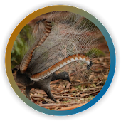 Lyrebird Singing