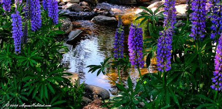 Photo: Native lupines add regal brilliance to a pond in Oregon.