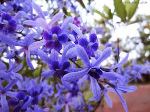 Photo: Flor de São Miguel ou Viuvinha lilás ( Petrea volubilis )