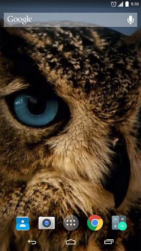 Amazing Owl Live Wallpaper