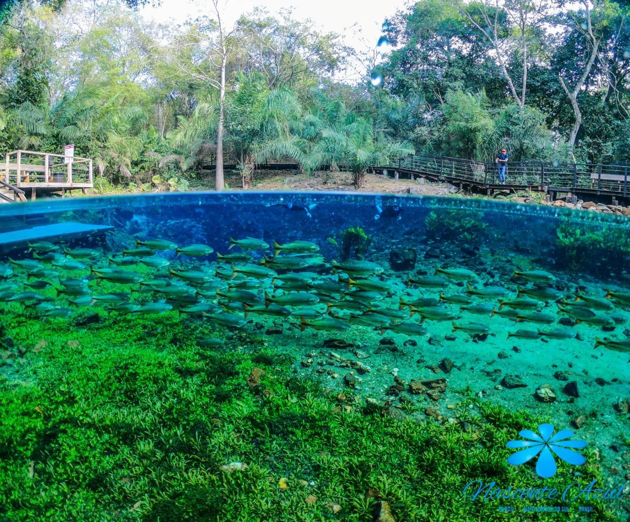 Peixes Flutuação Nascente Azul