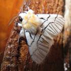 Moth (Notodontidae)
