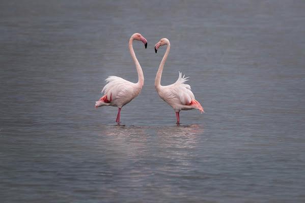 Fenicotteri innamorati di Peter_Sossi