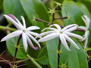 Photo: Jasmim Estrela Branco ( Jasminum nitidum )